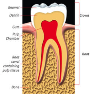root-canal-kingston-dentist-westwoods-dental-healthy-tooth